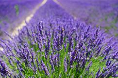 ทัวร์ Blooming Lavender ตุรกี 10 วัน 7 คืน โดยสายการบินสิงคโปร์ แอร์ไลน์ (SQ)