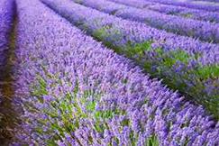 ทัวร์ Fairytale Lavender ตุรกี 10 วัน 7 คืน โดยสายการบินมาฮานแอร์ (W5)