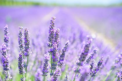 ทัวร์ Lavender Floral ตุรกี 10 วัน 7 คืน โดยสายการบินเตอร์กิช แอร์ไลน์ (TK)