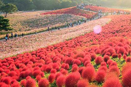 ทัวร์ OSAKA NAGOYA TOKYO RED KOCHIA 7วัน 4คืน โดยสายการบินไทย  (TG)